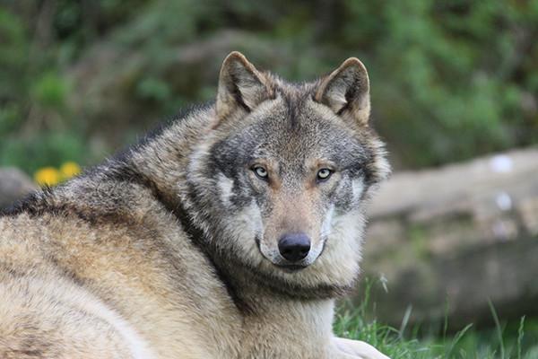 """""""Wolfsattacke"""" verkommt zum politischen Theaterspiel"""